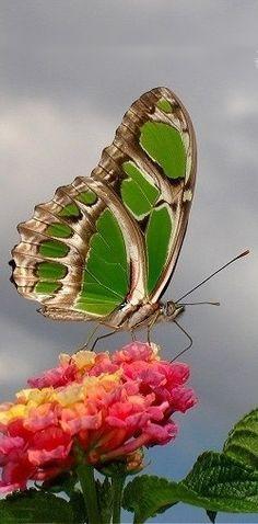 ◑≈◑≈◑≈◑ Butterfly ◑≈◑≈◑≈◑