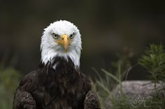 Meet Sam the Bald Eagle. Bald Eagle, Meet, Portrait, Photography, Fotografie, Headshot Photography, Photography Business, Photo Shoot, Fotografia