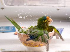 conure enjoying bath time