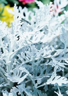 I wonder if a Dusty Miller would be good around the pool ?
