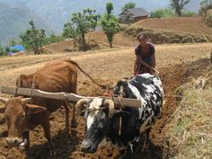 """""""Beyond social norms, there lives an obligation"""". The photo was taken on May 6, 2014 during a visit to Mijhing VDC of Rolpa district. This is the season of maize cultivation and Sagan Gautam,a lady in her early 50's, is busy ploughing her neighbour's field since they were out of the village for some household purpose. Photographer : Sanjay Dhakal"""