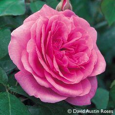 """Pflanzen-Kölle Englische Rose 'Gertrude Jekyll' (Ausbord) David Austin.  Ein Traum für Rosenliebhaber mit leuchtend rosa Blüten und dem intensiven Duft """"Alter Rosen""""."""