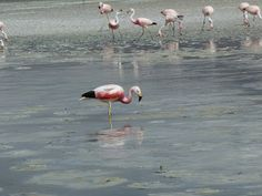 Barfuss Flamingo, Animals, Animales, Animaux, Flamingos, Animal, Greater Flamingo, Animais