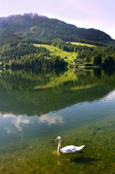 Swan On Lake Grundlsee, Steiermark, Austria