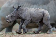 A female southern white rhino calf, born three days ago at the San Diego Zoo Safari Park, bravely went nose-to-nose with an adult female rhino, scared off a curious Nile lechwe and explored her 60-acre East Africa habitat earlier today—all under the watchful eye of her protective mother.   The calf, named Kianga (pronounced Key-AN-ga), which means sunshine in Swahili, was born Oct. 13 to mom, Kacy, and father, Maoto (pronounced May-O-toe). This is the pair's second calf. The first, a…