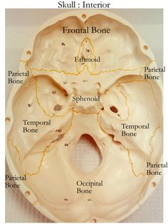 skull bones labeling exercise | Skull: Cranial and Facial Bones