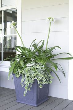 When sweet and sophisticated is the look you're going for...this is a great combo! #spring #flowers combo- queen mum agapanthus, white lantana, trailing rosemary by Carmen Johnston Gardens #largecontainergardeningideas