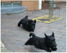 Scottie puppies...the look in the first pups eyes=trouble. LOL