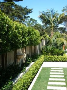 Image result for FICUS TUFFI PLEACHED HEDGE nz GARDENS #gardenplanningideasbackyards