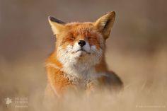 Happy Fox is Happy by Roselien Raimond