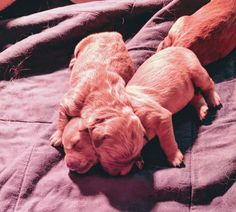 Almost one week ago my Goldens had a litter of pups. Here are a couple of them at two days old. http://ift.tt/2rTYR2b
