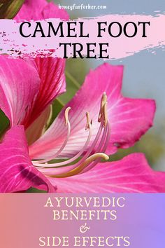 """Kachnar (Camel Foot Tree): The """"Tree of Life"""": Uses Benefits Side-Effects . Lose of Fat Every 72 Hours! Learn the Fast Weight Loss Ayurvedic Herbs, Healing Herbs, Medicinal Herbs, Ayurveda, Ayurvedic Medicine, Herbal Medicine, Herbal Remedies, Natural Remedies, Health Remedies"""
