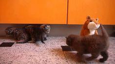 Британские котята и хомяк, Kittens and hamsters