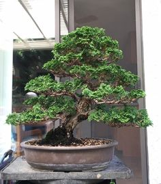 Hinoki cypress bonsai by Boon Manakitivipart, owner of Bonsai Boon in Hayward, CA. Take note of the unique and attractive appearance of the foliage of this plant material. #bonsaitrees