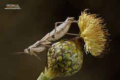 https://flic.kr/p/21Cigbn | Teydean Dwarf Mantis | Pseudoyersinia teydeana - Teydean Dwarf Mantis  Tenerife, Spain