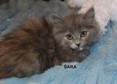 Sara is an adoptable American Shorthair Cat in Phoenix, AZ. My name is Sara and I am a medium length haired beautiful Tortoiseshell little girl who has already been spayed and have all my shots. I am ...