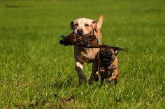 Labrador & Mops Paulchen & Kalle Herrchen, Herrchen, schau mal was Paulchen gefunden hat! – Danke an Paulchen & Friends: http://d2l.in/pf #Hund: Paulchen & Kalle / Rasse: #Labrador & Mops      Mehr Fotos: https://magazin.dogs-2-love.com/foto/labrador-mops-paulchen-kalle/ Foto, Hunde, Natur, Tier, Welpen