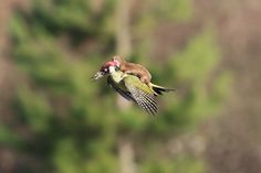 Incredible photo shot in London by Marin Le-mayo. A Mustela nivalis riding a Picus viridis.