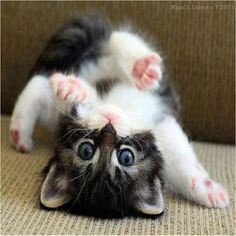 Look how cute kittens. 816 likes. The more you talk to your cat, the more he or she will meow back at you. Cats can also differentiate the tone in your. Cute Cats And Kittens, I Love Cats, Kittens Cutest, Kittens Playing, Cutest Pets, Cutest Kitten Breeds, Small Kittens, Crazy Cat Lady, Crazy Cats