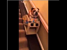 """Previous Pinner:""""Elderly English Bulldog Rides Down the Stairs In A Custom Stair Lift"""" This is so sweet! An elderly bulldog is as loved as an elderly family member; it's sweet to see him being taken care of and loved. Cute Puppies, Cute Dogs, Dogs And Puppies, Doggies, Terrier Puppies, Boston Terrier, Animals And Pets, Funny Animals, Cute Animals"""