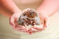 Baby hedgehog. Reminds me of alice in wonderland. It's sad they're illegal in CA :(