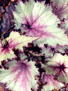 Heuchera 'Silver Scrolls' pretty sure this is a begonia not heuchera lol Garden Shrubs, Garden Trees, Shade Garden, Garden Plants, Coral Bells Plant, Coral Bells Heuchera, Landscaping Tips, Garden Landscaping, Lakeside Garden