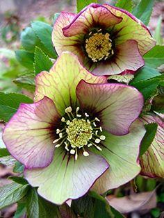 Picotee Lady Christmas/Lenten Rose - Helleborus - Shade Perennial -Gallon Pot