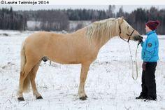 Finnhorse palomino stallion Palomino, Animals And Pets, Cute Animals, Horse Breeds, Mysterious, Finland, Coaching, Mystery, Barn