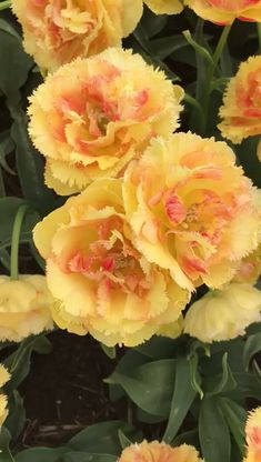 Rosas Hermosas Discover Vaya Con Dios Double Tulip Double Fringed Tulip blooming in the flower fields in Holland. Yellow blooms have peach centers on these tulips with double petals that have fringed edges.