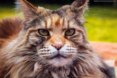Maine Coon close up by Natassja Berg Hviid on 500px
