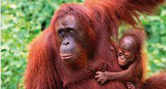 Sepilok Orangutan Sanctuary, Borneo