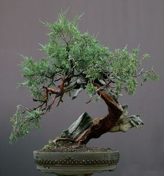 Bonsai✖️More Pins Like This One At FOSTERGINGER @ Pinterest✖️