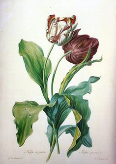 "Gerrit van Spaendonck pioneered the technique of color-printed stipple etching made famour by his pupil, Redoute'. From the twenty-four prints of his Fleurs dessinees d'apres nature (Paris 1801) is ""Tulipes des Jardins,"" engraved by P.F. Le Grand. Some modern experts consider this book unsurpassed in beauty, and it is the rare copy that survives complete."
