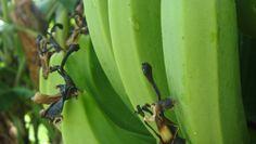 Bananas still on the Banana Tree