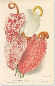 Revue Horticol - Botanical Prints - Illustrated Book Plate Illustration from Revue Horticole 1800s - Botanical Print - 19 - ANTHURIUM Painting