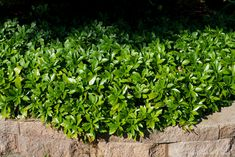 Ground Cover - Pachysandra / Japanese Spurge (3-min video)  Dig perfect planting holes quickly and easily with the 5-IN-1 Landscape Plugger, all from a comfortable standing position!