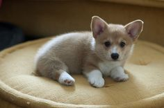corgi puppy....my husband doesn't know this yet, but we will soon be adding a corgi baby to our family! Bwaaa ha ha.