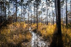 The natural reserve of cypress in Florida
