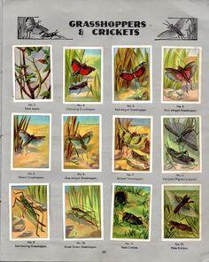NESTLE': Wonders of the World (1932 - Grasshopper & Crickets)