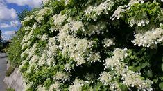 Klatrehortensia - en suveren og bittelitt skummel klatrer - Tusenfryden White Gardens, Garden Plants, Planter