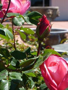 Spring roses | Castro Valley, CA | www.cvadult.org Castro Valley, Roses, School, Spring, Plants, Pink, Rose, Schools, Planters