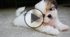 Cute Shih Tzu Puppies Teacup