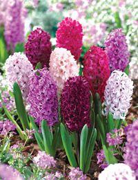 Deco Floral, Spring Bulbs, Daffodils, Hyacinth Flowers, White Hyacinth, Spring Flowers, Spring Blooms, Beautiful Gardens, Perennials
