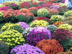 Westminster Maryland Online: The Westminster Volunteer Fire Department Canteen Committee will be selling mums at Fallfest, Sept. 28th and 29...http://kevindayhoffwestgov-net.blogspot.com/2013/09/the-westminster-volunteer-fire.html