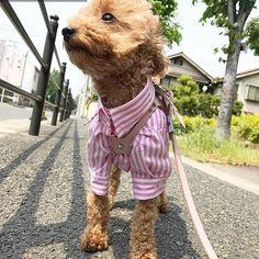 http://instagram.com/room_milletrois いつもご購入 有り難う御座います🎵 リピーターのお客様のpostより🐾 ♀プードルちゃん 2.7kg size M #pet#dog#dog#cat#cat#poodle#fashion#ootd#プードル#トイプードル#ヨーキー#ヨークシャテリア#チワワ#フレンチブルドッグ#パグ#わんこ#いぬ#ねこ#犬バカ部#犬#猫#愛犬#子供#子供服#ペットショップ#ペットウェア#キッズ#女の子#男の子 ┈┈┈┈┈┈┈┈┈┈┈┈┈┈┈┈┈┈┈┈┈┈┈┈┈┈┈┈┈ # repost @32chieminnie 今日のおさんぽ🍀 おNewのシャツ着て ルンルンるん♪