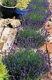 Lavender Bushes to border the empty bed by the living room windows.  Yes this is must.