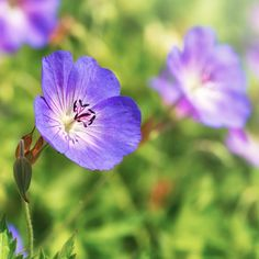 why is geranium rozanne so special Geranium Plant, Hardy Geranium, Growing Geraniums, Bulb Vase, Hardy Plants, Home Trends, Landscaping Tips, Garden Inspiration, Window Boxes