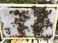 The bees will be busy this week #bees #honey #honeybees