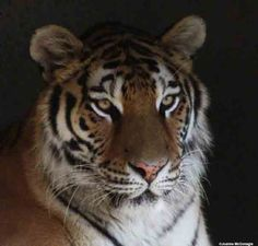 Tigers have vanished from 93 percent of their historic range, with fewer than 3,200 wild tigers remaining today. Here's how you can help.