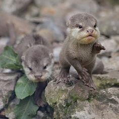 when shnacks are over there but u are here 😾💕 Cute Baby Animals, Animals And Pets, Wild Animals, Otter Love, Baby Otters, Baby Squirrel, My Spirit Animal, Funny Animal Pictures, Cute Cats